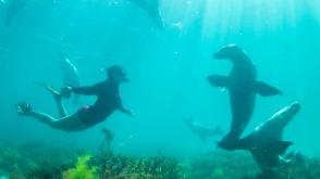 Sea Lions, Adventure Bay Charters, Hopkins Island, SA