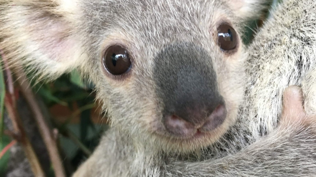 Australia's cutest koala joey crowned - Tourism Australia
