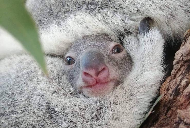 TA cutest Koala joey © Tourism Australia