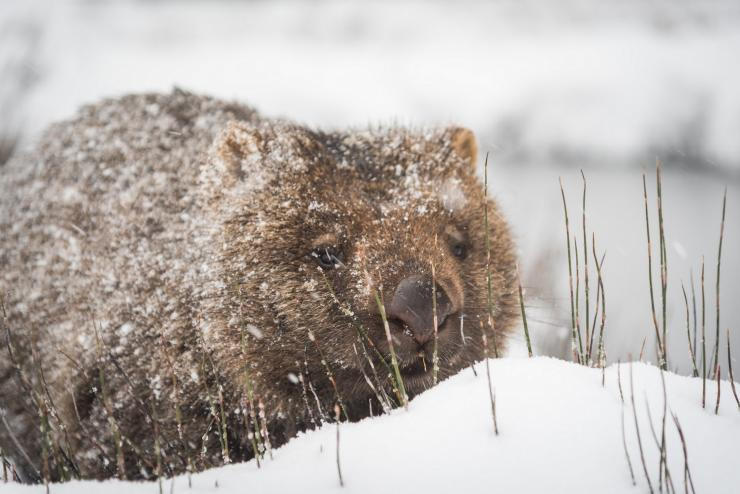 Wombat in winter snow